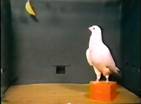 BF Skinner Foundation - Pigeon & Red Block - YouTube(1)