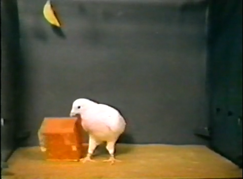 BF Skinner Foundation - Pigeon & Red Block - YouTube(2)