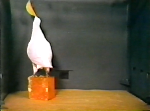 BF Skinner Foundation - Pigeon & Red Block - YouTube(3)
